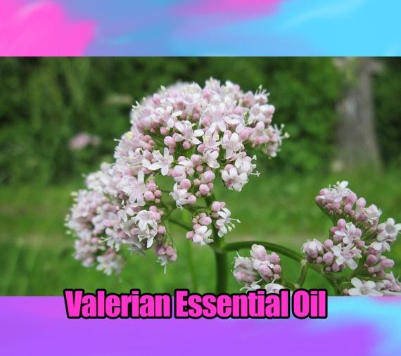Valerian essential oil